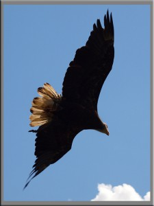 An eagle soars over the island