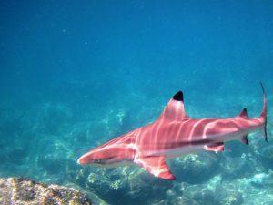 A pink shark (not a GW)